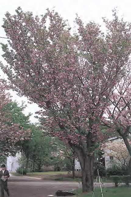 diagram the parts of cherry blossom tree 2016 hyundai sonata speaker wiring growth schematics raikoji kiku zakura a fastigiate chrysanthemum with rh researchgate net flower anatomy