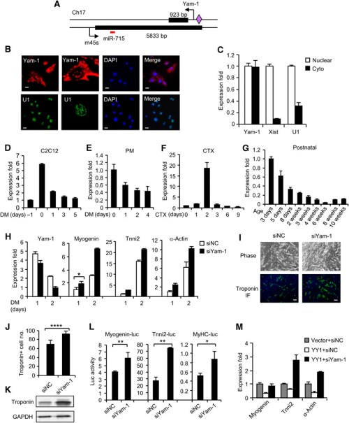 small resolution of yam 1 inhibits skeletal muscle differentiation a schematic illustration of yam