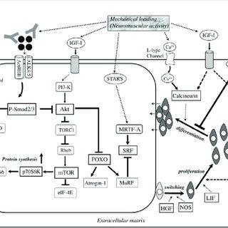 (PDF) Molecular Determinants of Skeletal Muscle