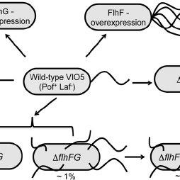(PDF) A Novel dnaJ Family Gene, sflA, Encodes an Inhibitor