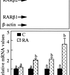 an excess of ra induces the overexpression of the rar isoform transcripts in japanese quail  [ 850 x 1252 Pixel ]
