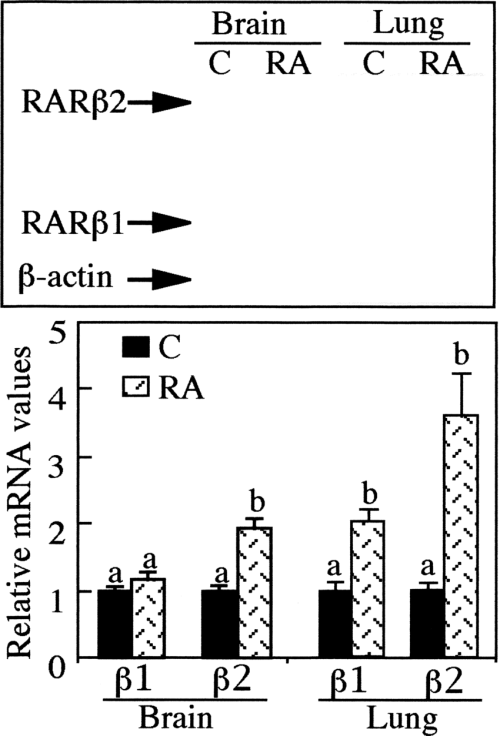 small resolution of an excess of ra induces the overexpression of the rar isoform transcripts in japanese quail