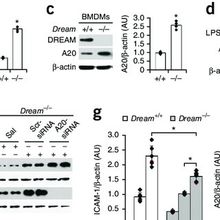Expression of wild-type DREAM restores NF-κB signaling