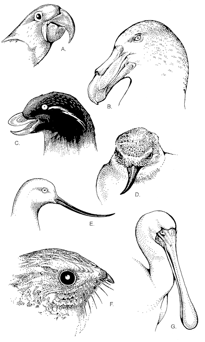6. Diversity of the jaws and beak in birds. Birds lack