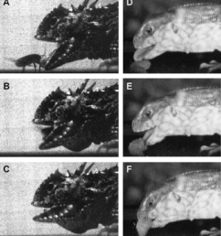 the kinematics of lingual prehension in a horned lizard p cornutum download scientific diagram [ 850 x 943 Pixel ]