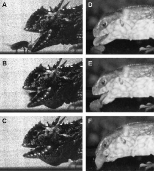 small resolution of the kinematics of lingual prehension in a horned lizard p cornutum download scientific diagram