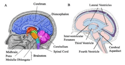 internal brain diagram narva sealed switch wiring a structures of the human 12 b ventricular