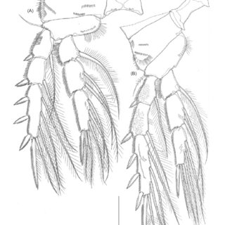 (PDF) Description of Tisbe alaskensis sp. nov. (Crustacea
