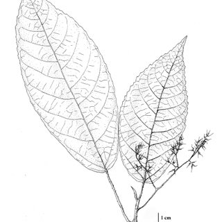 Laportea interrupta (L.) Chew: a. Habit; b. Stinging hairs