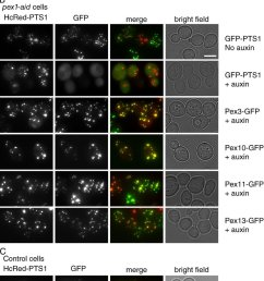 short term depletion of pex1 affects matrix protein import but not pmp transport  [ 850 x 1332 Pixel ]