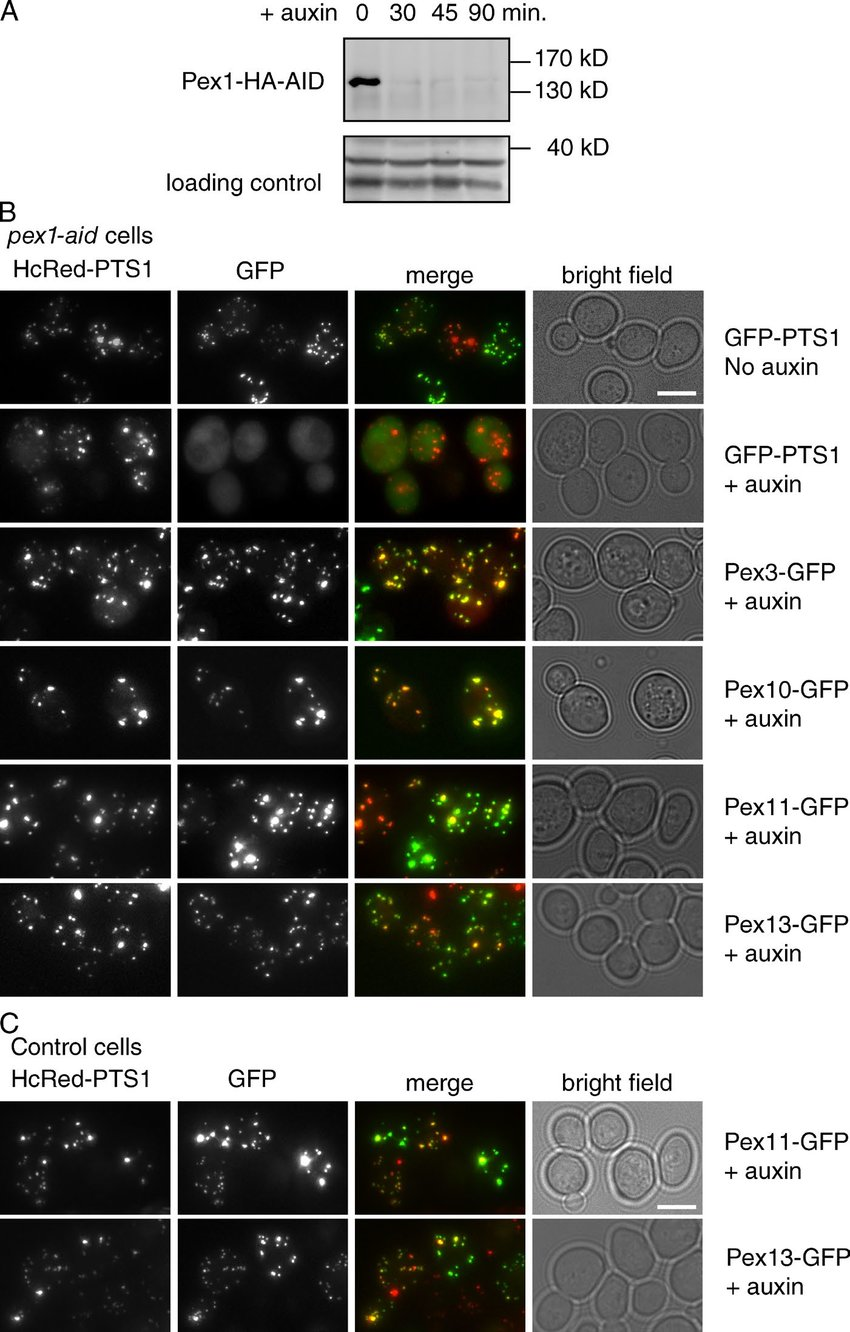 hight resolution of short term depletion of pex1 affects matrix protein import but not pmp transport