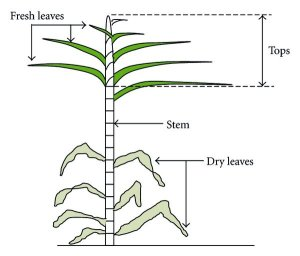 The sugarcane plant morphology Adapted from [9