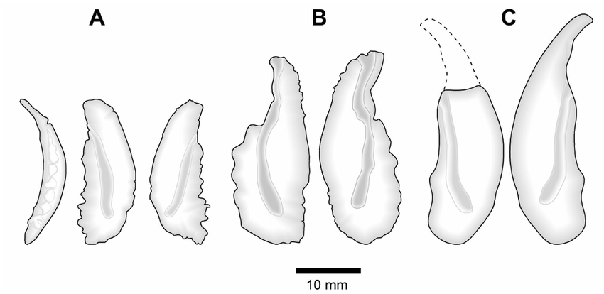 Ontogenetic morphological variation in sagittae of giant