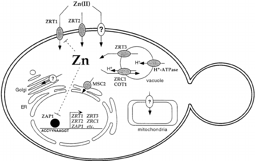 Model of zinc transport and its regulation in S