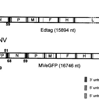 (PDF) Observation of Measles Virus Cell-to-Cell Spread in