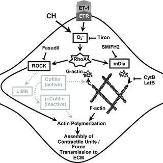 Endothelin-1 (ET-1) stimulates actin polymerization in