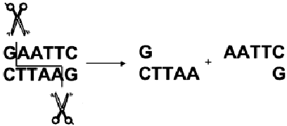 Flowchart for process of creating a DNA fingerprint by