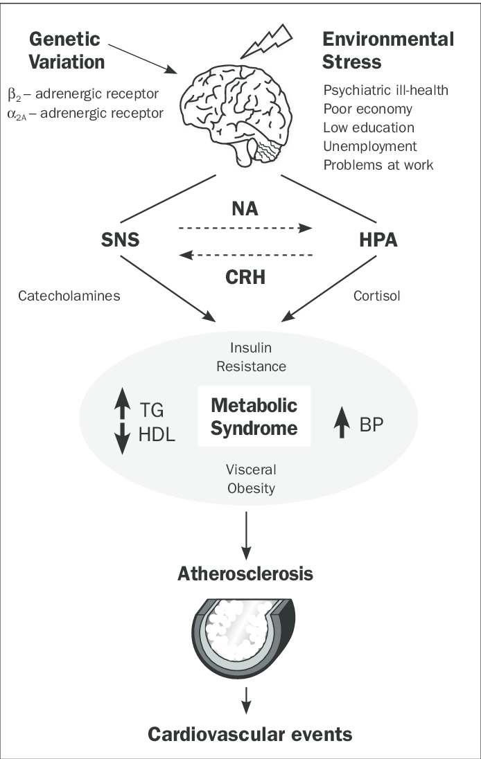 The stress response leads to activation of two major