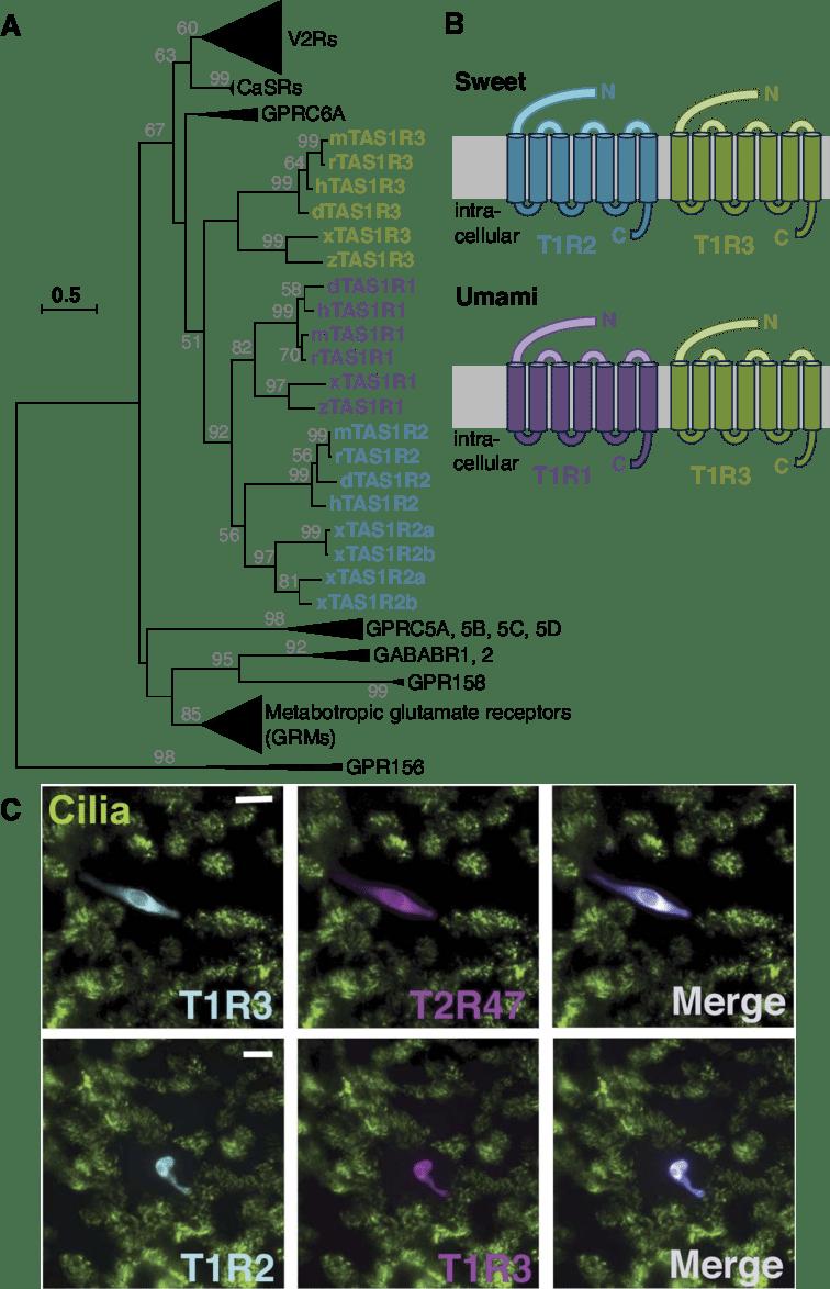 medium resolution of evolutionary relationship of sweet and umami taste receptor subunits a condensed evolutionary tree