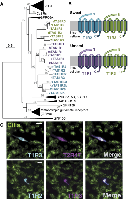 small resolution of evolutionary relationship of sweet and umami taste receptor subunits a condensed evolutionary tree