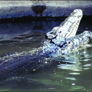 Image of: Hoyerswerda Female Exhibiting Snoutlifting Behavior Prior To Copulation Wikipedia Pdf Social Behavior In Captive Cuban Crocodiles crocodylus