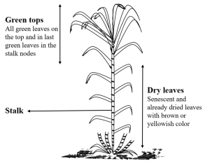 Schematic representation of sugarcane plant separating in