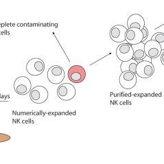 Artificial antigen-presenting cells (aAPCs) were produced