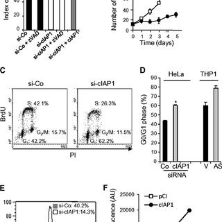 cIAP1 interacts with the transcription factor E2F1. A