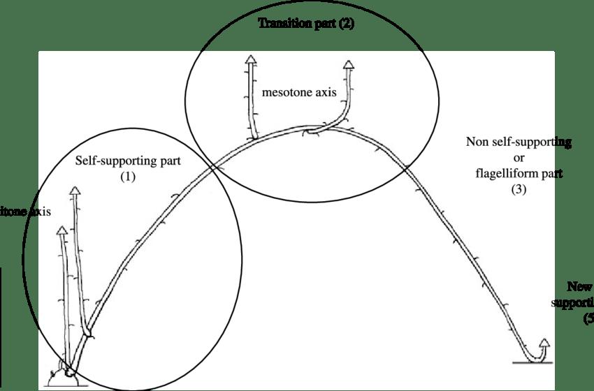 A typical developmental sequence in Rubus alceifolius