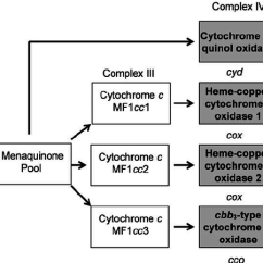 Electron Transport Chain Diagram For Dummies Editable Puzzle The Myxococcus Xanthus Phylogenetic Trees Were Generated From Individual Complex Iv Proteins