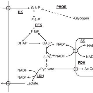 (PDF) Anaerobic energy release in skeletal muscle during