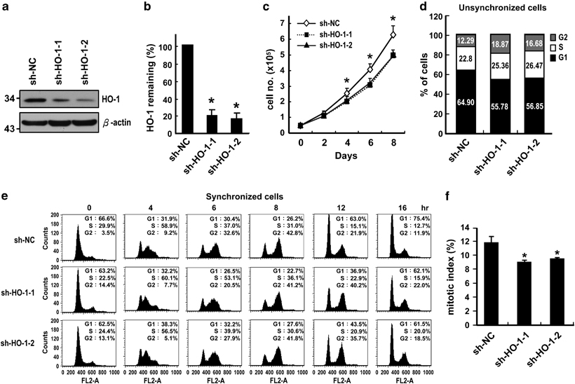 HO-1 downregulation causes mitotic delay in A498 cells. (a