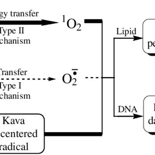 Proposed mechanism of kava extract-induced free radicals