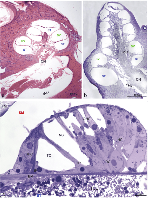 small resolution of gross anatomy of the human and rodent cochlea and the organ of corti aeb