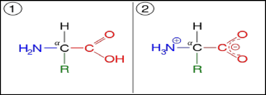(1) General formula of an amino acid (left) | Download ...