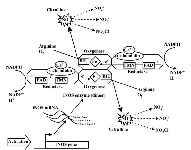 Schematic representation of iNOS gene expression, iNOS