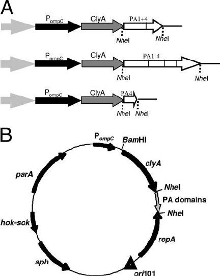 PA expression plasmids. (A) Cloning of PA fragments into