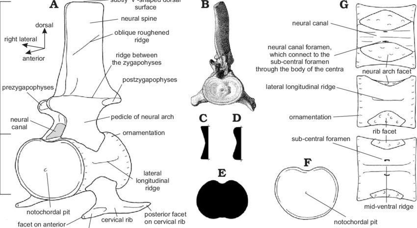 cervical vertebrae diagram fluorescent light wiring and centra of plesiosaurs a generalized download scientific