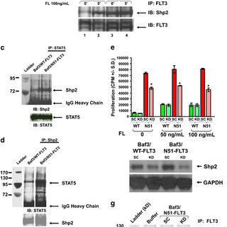 (PDF) The Protein Tyrosine Phosphatase, Shp2, Positively
