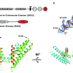 Fat Structure Diagram Pioneer Deh P6700mp Wiring Crystal Of Dcc P3 Motif In Complex With Fak Domain A And The Region Present Red