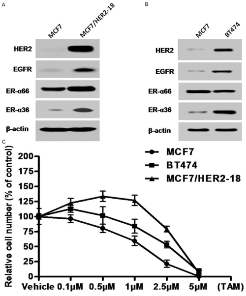small resolution of her2 expressing breast cancer cells exhibit enhanced expression of er 36 and egfr as well