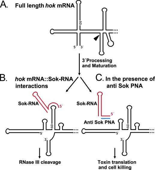 Schematic model of the hok/sok TA system and the Sok-RNA
