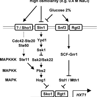 (PDF) Expression of the HXT1 Low Affinity Glucose