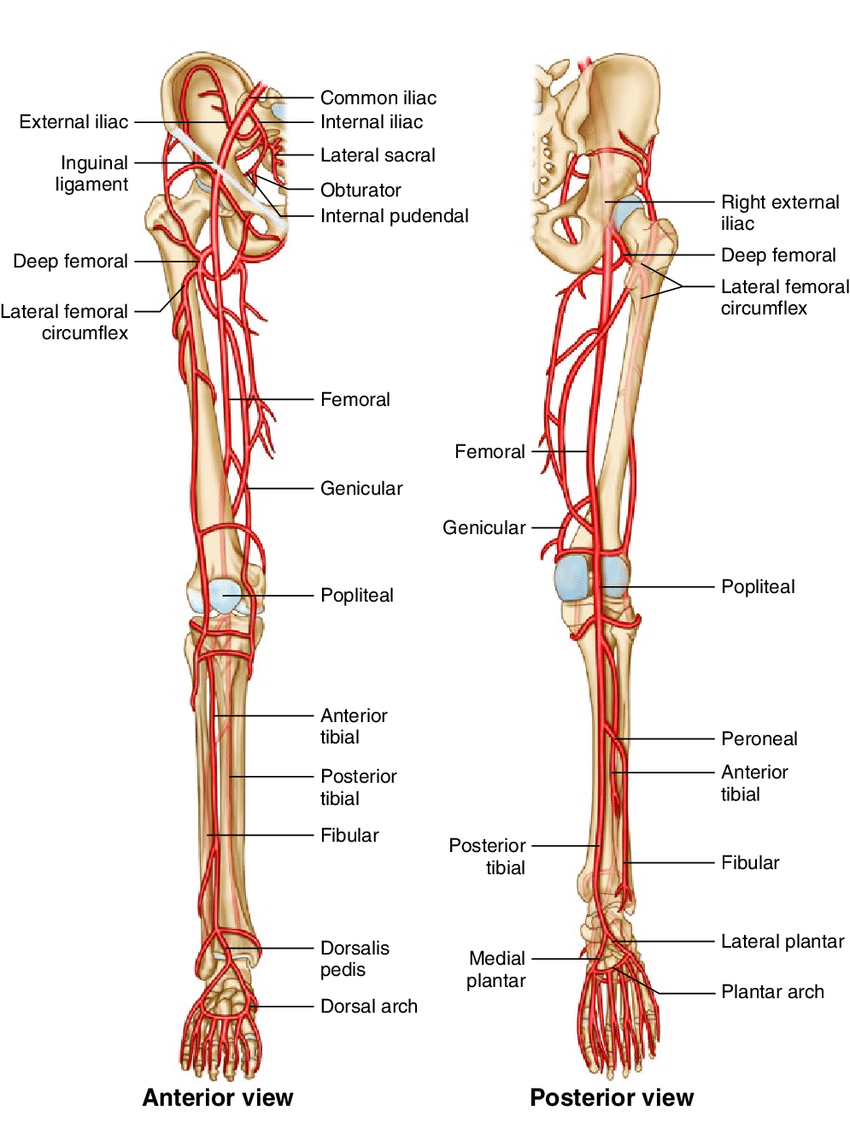 hight resolution of 9 arteries on the lower limb