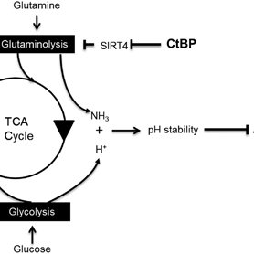 Diagram to show the interaction between glycolysis and