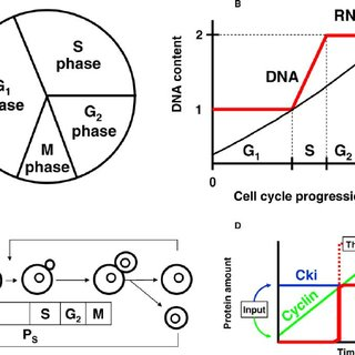 (PDF) Cell Size at S Phase Initiation: An Emergent