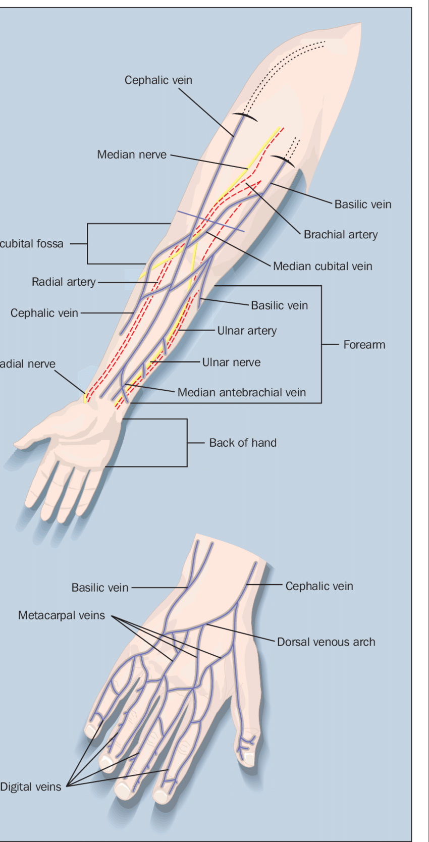 hight resolution of the superficial veins of the forearm and the hand with cannulation sites