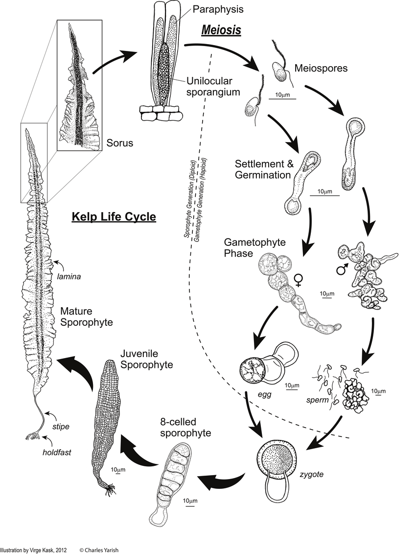hight resolution of the kelp life cycle
