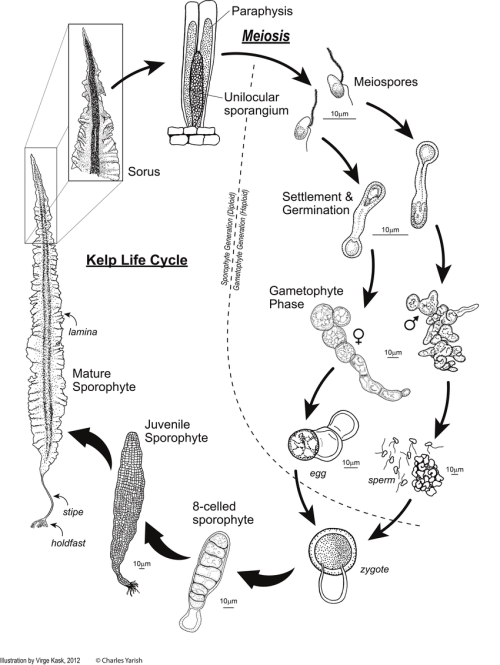 small resolution of the kelp life cycle