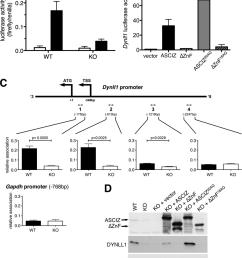 asciz regulates dynll1 as a znf transcription factor a firefly download scientific diagram [ 850 x 1111 Pixel ]